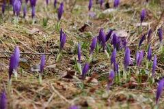 Os açafrões brotam na primavera em uma floresta do pinho Foto de Stock