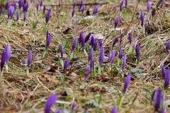 Os açafrões brotam na primavera em uma floresta do pinho Fotos de Stock Royalty Free
