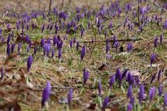 Os açafrões brotam na primavera em uma floresta do pinho Imagem de Stock Royalty Free