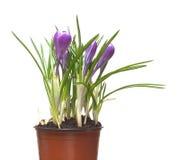 Flores dos açafrões no potenciômetro isolado Imagens de Stock Royalty Free