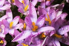 Os açafrões da flor da mola são cobertos com as gotas de d claro Imagem de Stock