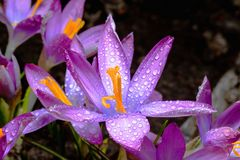 Os açafrões da flor da mola são cobertos com as gotas de d claro Fotografia de Stock Royalty Free