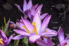 Os açafrões da flor da mola são cobertos com as gotas de d claro Fotos de Stock Royalty Free