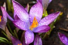 Os açafrões da flor da mola são cobertos com as gotas de d claro Foto de Stock Royalty Free