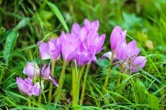 Os açafrões das flores crescem entre a grama Fotografia de Stock