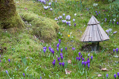 Os açafrões em Butchart jardinam, Victoria, BC, Canadá fotografia de stock royalty free
