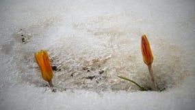 Os açafrões, flores da mola brotam da neve Foto de Stock