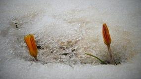 Os açafrões, flores da mola brotam da neve Fotos de Stock