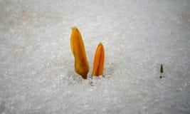Os açafrões, flores da mola brotam da neve Imagens de Stock
