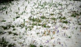 Os açafrões, flores da mola brotam da neve Fotografia de Stock
