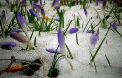 Os açafrões, flores da mola brotam da neve Imagem de Stock