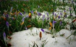 Os açafrões, flores da mola brotam da neve Fotografia de Stock Royalty Free