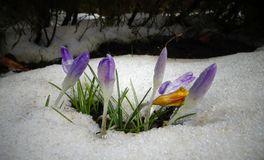 Os açafrões, flores da mola brotam da neve Imagens de Stock Royalty Free