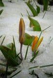 Os açafrões, flores da mola brotam da neve Imagem de Stock Royalty Free