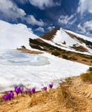 Os açafrões florescem na mola Imagens de Stock