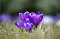 Os açafrões florescem no jardim em um dia ensolarado Imagens de Stock Royalty Free