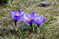 Os açafrões florescem no jardim em um dia ensolarado Foto de Stock Royalty Free