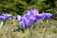 Os açafrões florescem no jardim em um dia ensolarado Fotos de Stock Royalty Free
