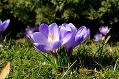 Os açafrões florescem no jardim em um dia ensolarado Fotografia de Stock