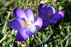 Os açafrões florescem no jardim em um dia ensolarado Fotos de Stock