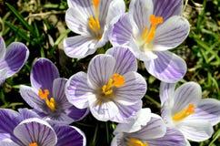 Os açafrões florescem no jardim em um dia ensolarado Fotografia de Stock Royalty Free