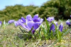 Os açafrões florescem no jardim em um dia ensolarado Imagens de Stock