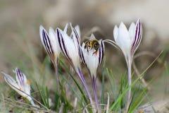Os açafrões florescem no prado A abelha recolhe o néctar das flores fotos de stock royalty free