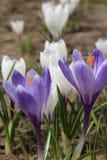 Os açafrões florescem o açafrão, florescendo em circunstâncias naturais Close-up Macro Fotografia de Stock Royalty Free