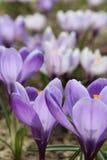 Os açafrões florescem o açafrão, florescendo em circunstâncias naturais Close-up Macro Imagem de Stock Royalty Free
