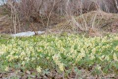 Os açafrões foram demitidos Primeiras flores da mola Glade dos snowdrops Fotografia de Stock