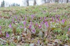 Os açafrões foram demitidos Primeiras flores da mola Glade dos snowdrops Imagens de Stock