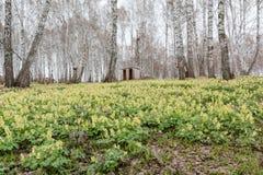 Os açafrões foram demitidos Primeiras flores da mola Glade dos snowdrops Foto de Stock Royalty Free