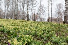 Os açafrões foram demitidos Primeiras flores da mola Glade dos snowdrops Fotos de Stock