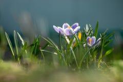 Os açafrões novos adiantados da mola no sol brilhante irradiam Imagem de Stock Royalty Free