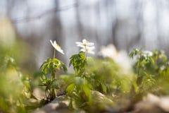 Os açafrões novos adiantados da mola no sol brilhante irradiam Foto de Stock Royalty Free
