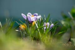 Os açafrões novos adiantados da mola no sol brilhante irradiam Fotos de Stock Royalty Free