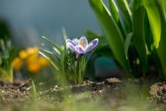 Os açafrões novos adiantados da mola no sol brilhante irradiam Fotos de Stock