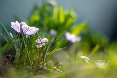 Os açafrões novos adiantados da mola no sol brilhante irradiam Imagens de Stock Royalty Free