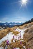 Os açafrões roxos crescem da neve contra o contexto das montanhas Fotos de Stock