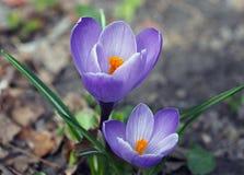 Os açafrões roxos de florescência Fotos de Stock Royalty Free
