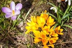 Os açafrões roxos e amarelos germinam na primavera no garde Fotografia de Stock