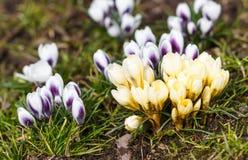 Os açafrões roxos e amarelos germinam na primavera no garde Foto de Stock