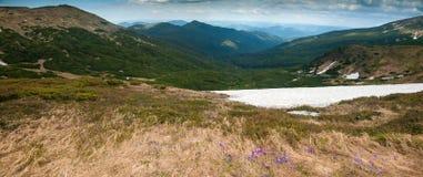 Os açafrões roxos florescem no fundo das montanhas Fotografia de Stock Royalty Free