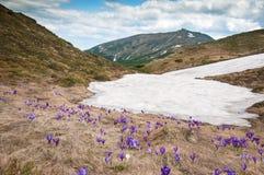 Os açafrões roxos florescem no fundo das montanhas Fotos de Stock