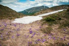 Os açafrões roxos florescem no fundo das montanhas Imagens de Stock Royalty Free