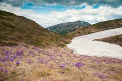 Os açafrões roxos florescem no fundo das montanhas Imagem de Stock