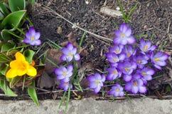 Os açafrões são as flores adiantadas da mola no dia ensolarado fotos de stock royalty free