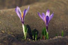 Os açafrões, um do primeiro florescem a florescência na mola Fotos de Stock