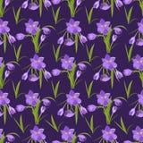 Os açafrões violetas bonitos da mola modelam o fundo no branco Fotos de Stock Royalty Free