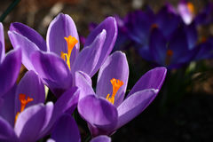 Os açafrões violetas enviam e um fundo Imagem de Stock